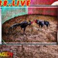 Adu Ayam Jago Online Live Streaming